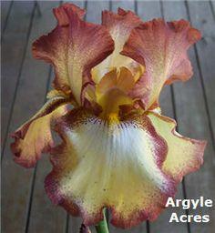 cinnamon girl bearded iris