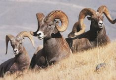 Bighorn Sheep. I enjoy seeing these along the Snake River in Hells Canyon.