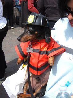 Dachshund fireman!
