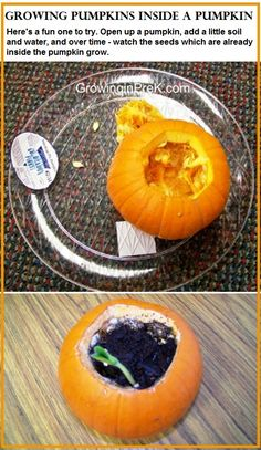 Growing Pumpkins inside a pumpkin.  Here's a fun one to try. Open up a pumpkin, add a little soil and water, and over time- watch the seeds which are already inside the pumpkin grow.