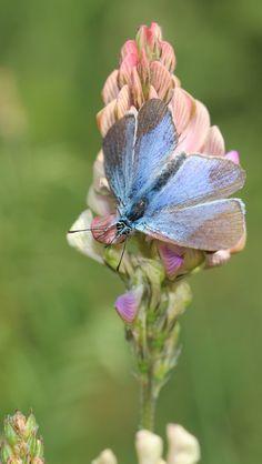 **Butterfly