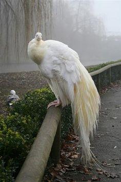 aeola:    albino peacock