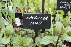 Pint #8: This plant Lavender Mint inspired by my favorite scent @rockingreen #letsrock
