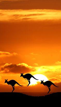 Silhouetted kangaroos in Australia • photo:  Havshøj Kristensen on Picasa