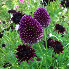 Alliums and black Scabious----->gorgeous combo!
