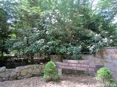 A native rhododendron (Rhododendron maximum) greets visitors at #Yawgoog's T. Dawson Brown Gateway. Many more can be found in and near the Protestant Cathedral and on the Swamp Trail boardwalk, all on the Orange Trail.  A 2014 image by David R. Brierley.