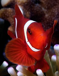*Clown fish