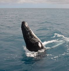 Just popping up to say g'day to Tommy Campion  Humpback Whale Watching in the calm waters on the lee side of Fraser Island #whalesherveybay #fraserisland #queensland #australia #humpbackwhales #whalewatching http://www.whalewatch.com.au/ www.queensland.com/whales