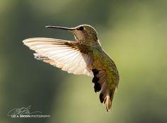 The Hummingbird - My Favorite Little Creature