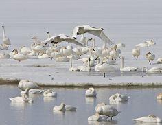 Tundra Swans, Bear River Bird Refuge, Utah