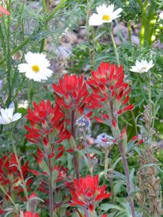 Indian Paintbrush-Harriet K. Maxwell Desert Wildflower Loop Trail-Desert Botanical Garden