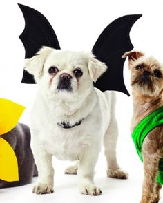 DIY Bat Wings costume for dogs.