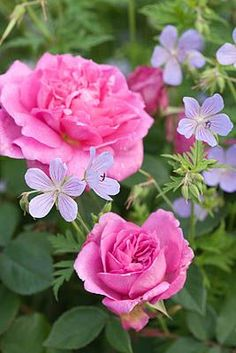 LAVENDER AND PINK;  Roses and Perennial geraniums