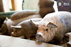 McCarty pigs!!