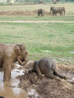 Baby elephants throw themselves into the mud when they are upset, like a temper tantrum.