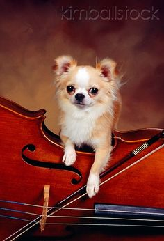 Music is Life. So are Chihuahuas