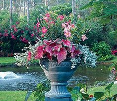 caladiums in containers are so fun!