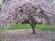To me... there is no tree as beautiful as the Magnolia Tree. It's so southern and graceful.