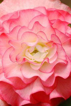 fleur, rose, flore, begonia, flora, pink garden flowers, flower gardening, bloom, beauti flower