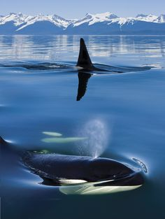 Close up of Orca whales as they surface in Lynn Canal with the Coast Range Mountains in the background,