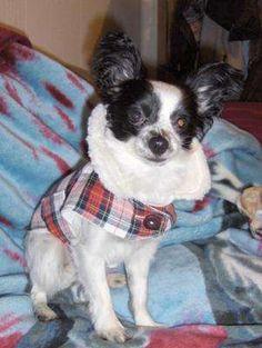 free dog, dog cloth, dog coats, dog stuff, dog coat pattern