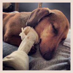 #dachshund #pet #dog #sleeping #love
