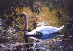Jean Bielski of Waterford Township submitted this undated photo of a swan between Loon Lake canal and Silver Lake.