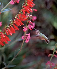 Flowers to attract hummingbirds - RED