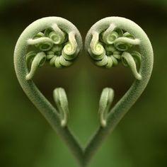 Fiddle head fern