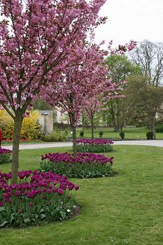 Love the contrast between the tulips and the flowering trees