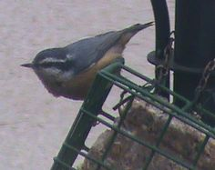 """Rendering beef fat makes it hard when it cools. It is then able to withstand warmer temperatures without becoming """"sloppy"""". Learn how to render suet: http://www.the-scoop-on-wild-birds-and-feeders.com/suetbirdfood.html#sthash.Xz2tCHth.dpuf"""