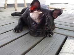 bulli babi, anim, bulldog puppies, french bulldogs, pet, doggi, french bulldog3, frenchi load, thing