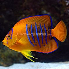 Saltwater fish. This is a pretty fish. I'd love more color in our tank
