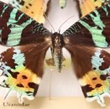 The last Insect of the Week for 2012 is one of the most beautiful butterflies in the world: the paradise birdwing butterfly, order Lepidoptera, family Papilionidae, Ornithoptera paradisea.