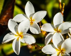 Plumeria Life | Hawaii Pictures of the Day