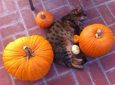 I'm Halloween Cat, and I Love Pumpkins