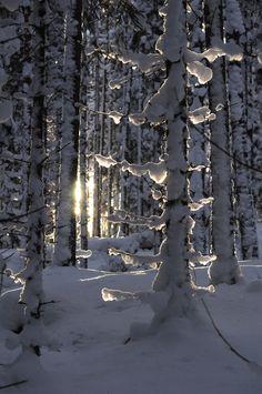 snow laden forest