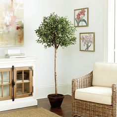 Potted Olive Tree |