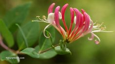 """Honeysuckle: A sweet-scented remedy that calms inflammation, infection and contagious illness 