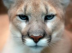 Mountain Lion   stay away from me and Dalhouise
