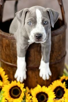 Ooh ooh one of these too! I adore this color of pit with those ice blue eyes!