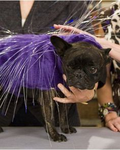 Simple Halloween Costumes for Pets: Illuminated Porcupine Costume