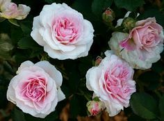 the Canadian rose 'Morden Blush'  http://kansasgardenmusings.blogspot.com/