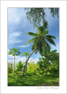 Lone Palmtree - Cote d Or, Grand Anse Praslin