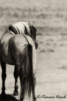 Sulphur Mustang Stallion - Tamara Gooch