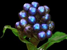 The berries of Pollia condensata were found to produce the most intense color in the natural world. Image via PNAS