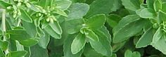 Stevia, also known as sweet stevia. The US FDA once banned the sale of stevia products in 1991, but 3 years later approved their sale as dietary supplements. Stevia cannot be sold for use as a tabletop sweetener, which is considered a conventional food.    Stevia is an herb from a semitropical perennial shrub of the daisy family, native to the mountains of Brazil and Paraguay. This plant packs so much sweetness into its leaves that they can be used in place of sugar.