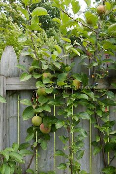 Backyard fruit growing in small spaces, on wooden fence