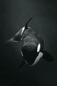 Orcas are crazy smar