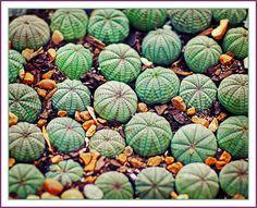 cacti carpet by jaki good miller, via Flickr